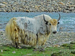 thé beurre de yak