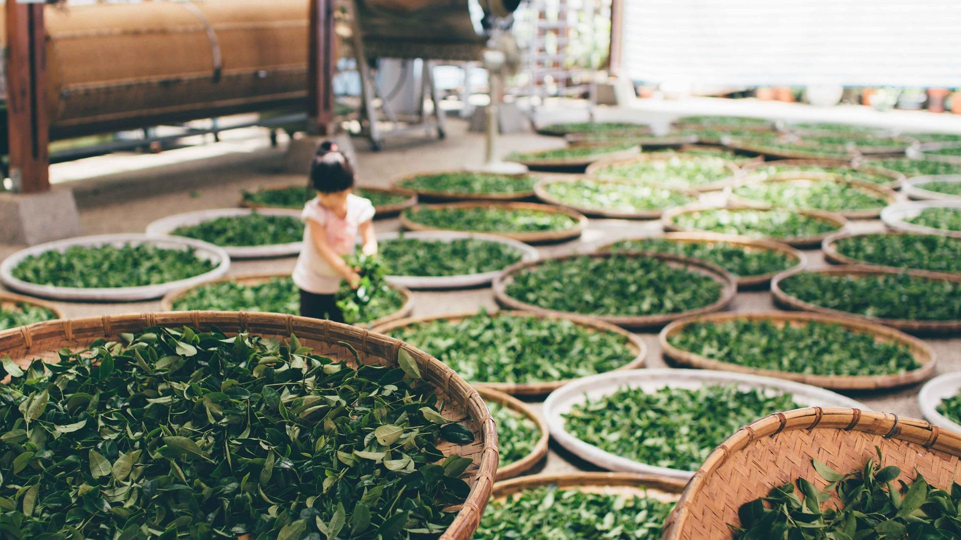 stockage feuille de thé