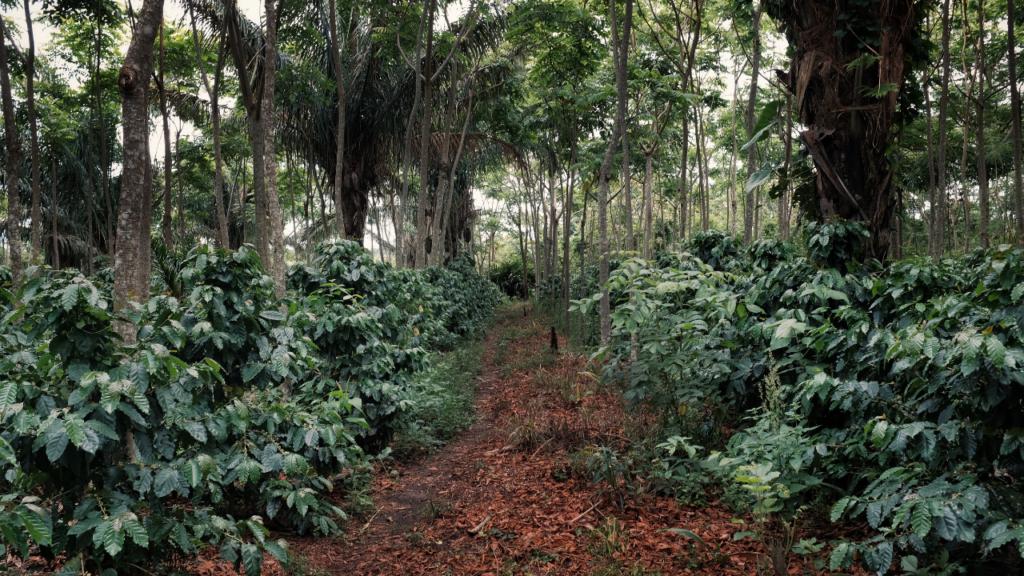 Arabica ou robusta : Quelles sont les différences ?